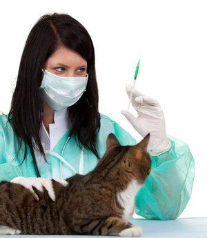 Прививки от бешенства и микроспории котенку