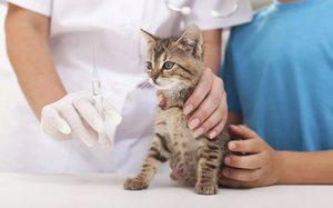 Необходимо ли проводить вакцию котенка