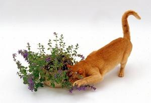 Польза кошачьей мяты для здоровья