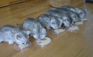 Как часто надо кормить котят британской породы