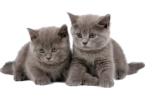 Питание котят - продуманный рацион