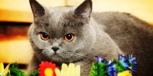 Домашний британский кот - рацион питания