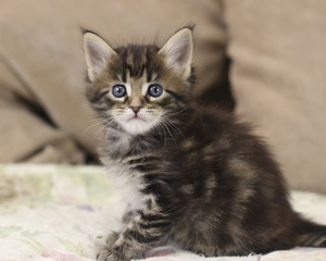 Советы по кормлению котенка мейн-куна