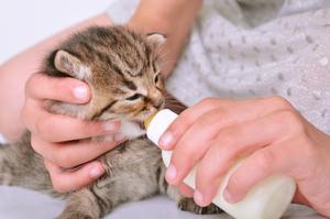 Чем кормить месячных котят