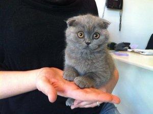 Питание котят шотландской породы