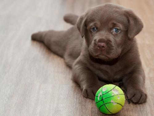 Когда делается первая прививка щенку