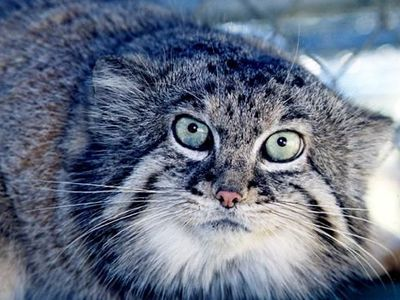 Wild cat manul: what is it?