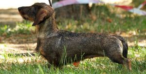 Когда появилась порода собак жесткошерстная такса