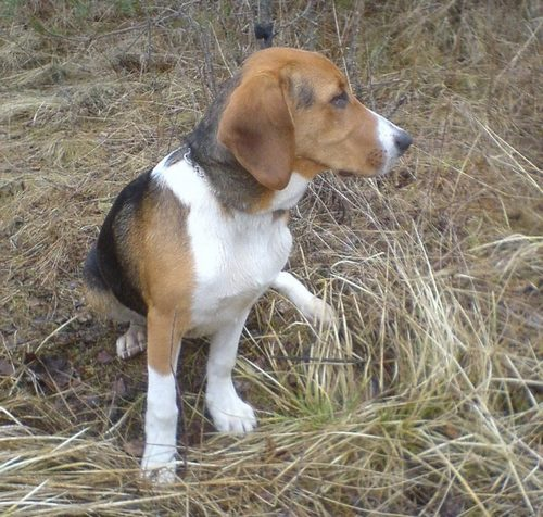 Characteristics of the breed Russian Pergamon Hound