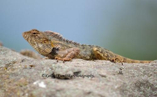 Garden_lizard