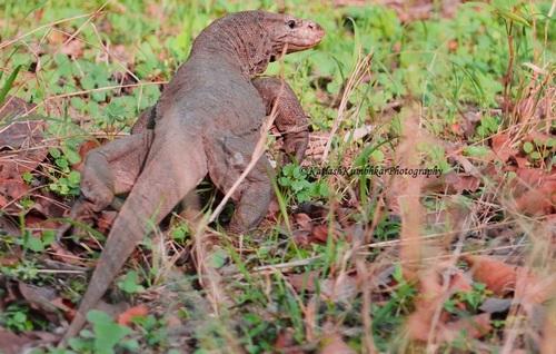 Monitor_Lizard_India
