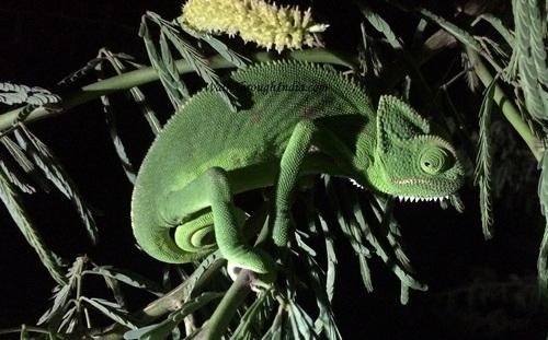 Indian-Chameleon