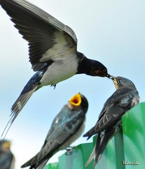 Barn swallows-killer many years living swallow | Hunting ...