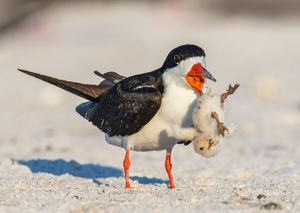 Черный водорез - интересная птица