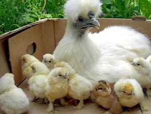 Китайская шелковая курица: разведение