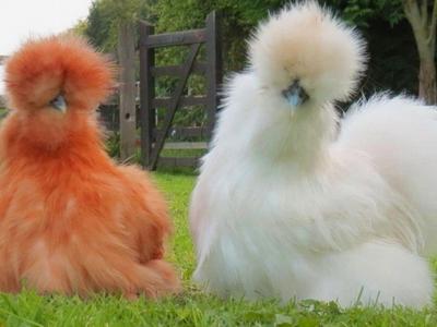 Особенности породы китайской шелковой курицы