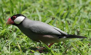 Как выглядит птичка амадина