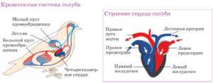 Четырехкамерное сердце - зачем птицам такое строение органа