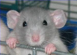 Сколько живет крыса в домашних условиях