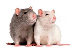 Уход за крысами дома - правильное питание
