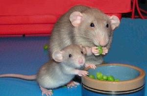 Как сделать, чтобы крысы прожили как можно дольше