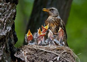 Дрозд рябинник кормит птенцов