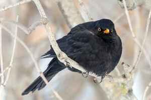 Нахохлившийся черный дрозд в холодное время года