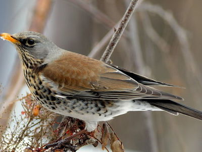 Как выглядит птица дрозд, ее питание и виды