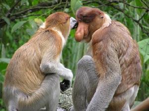 Monkey the proboscis monkey  Life monkey with a big nose