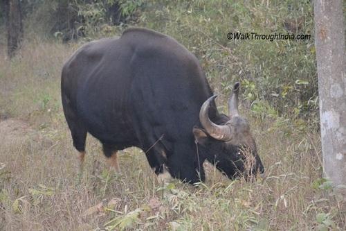 Indian-Bison