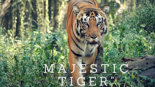 Majestic-Tiger-India