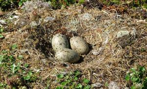 Чайка - гнездо и три яйца