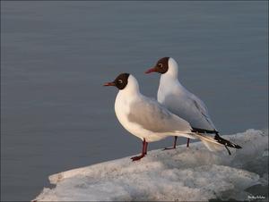 Речные чайки - миграция