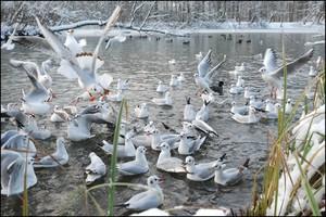 Чайка озерная: перелетная птица или нет?