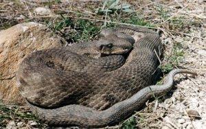 Яд у змеи гюрзы