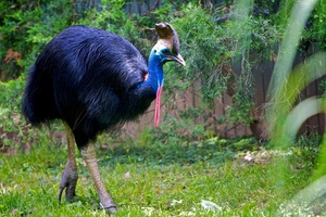Описание второй по величине птицы казуар