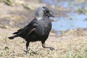 Питание птицы галки фото
