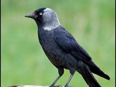 Птица галка места обитания