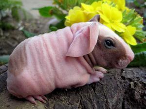 Скинни свинка
