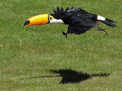 Самое интересное из жизни тукана птицы с большим клювом