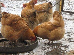 Как правильно кормить кур