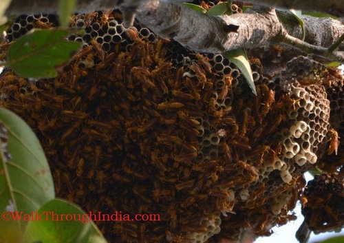 Indian-Wasp-Nest