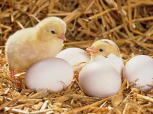 Инструкция по выведению цыплят