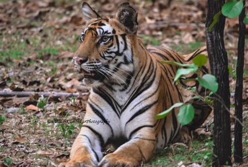 Bengal Tiger – Bandhavgarh National Park, Madhya Pradesh