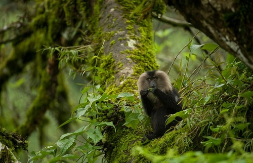 Lion Tailed Macaque – Silent Valley National Park, Kerala