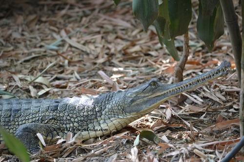 Saltwater Crocodiles – Bhitarkanika National Park, Odisha