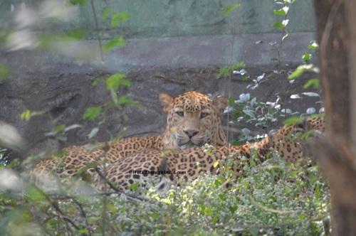 Indian Leopard – Jawai Dam Sanctuary, Rajasthan