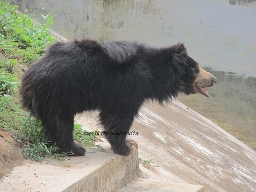 Sloth Bear – Daroji Sloth Bear Sanctuary, Karnataka