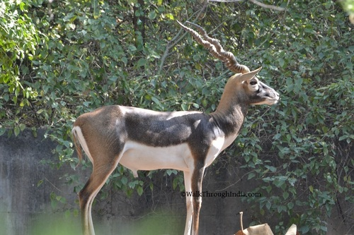 Blackbuck – Blackbuck National Park, Gujarat
