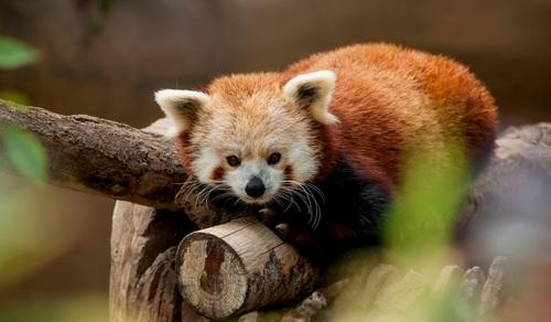 Red Panda – Singalila National Park, West Bengal